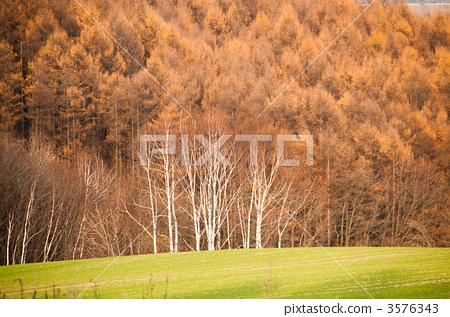 银桦树 日本落叶松 水景