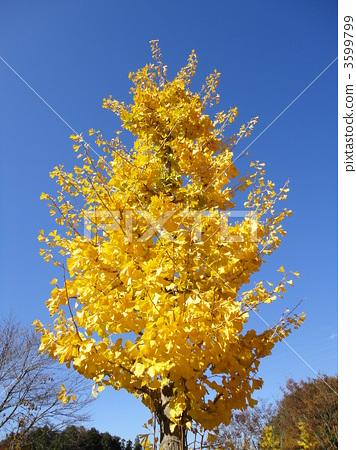 图库照片: 银杏 银杏树 黄色