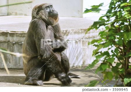 大猩猩 陆生动物