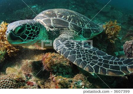 海龟 绿海龟 海洋动物