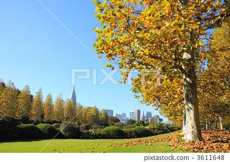 植物_花 树_树木 枫树 11月悬铃木·铃木家族40秋叶  *pixta限定素材