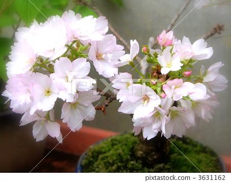 照片: 樱花 樱桃树 盆栽