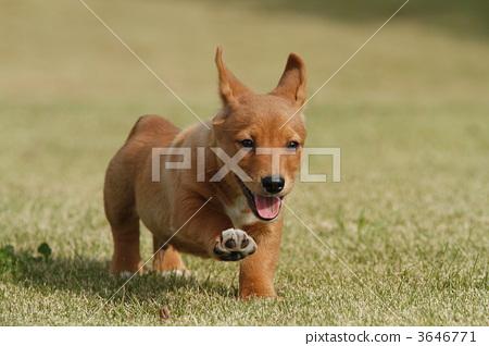 动物 一只动物 奔跑的小狗