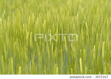 照片素材(图片): 大麦 小麦地 绿色小麦