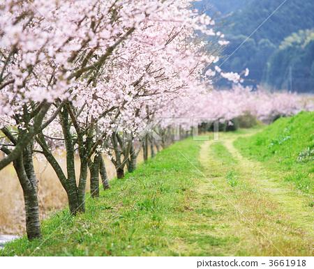 一排树 一排樱桃树