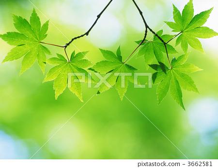 青枫 绿色秋天的树叶 青枫叶