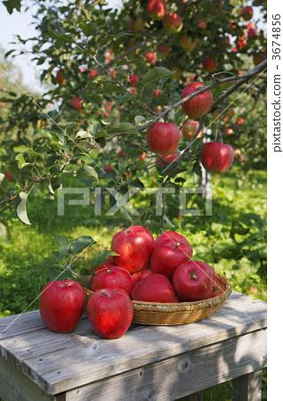 苹果树上 苹果 水果