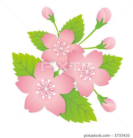 樱花 樱桃树 樱花盛开