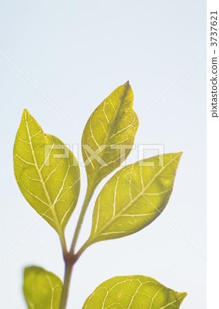 树叶 银杏叶 灰树