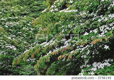 图库照片: 日本开花山茱萸 中国桑树 春天