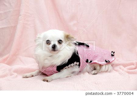 照片: 可爱 室内狗 吉娃娃
