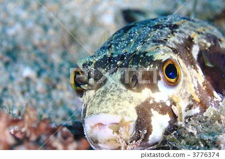 河豚鱼 海 stock photos