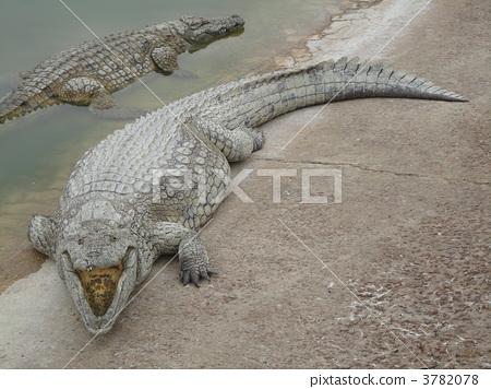 图库照片: 爬行动物 爬虫类的 鳄鱼