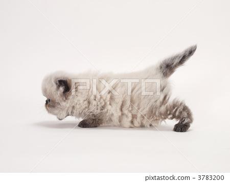 壁纸 动物 狗 狗狗 猫 猫咪 小猫 桌面 450_356