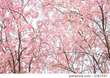 樱花 双垂柳樱花树 樱桃树