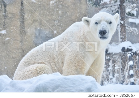熊 北极熊 陆生动物