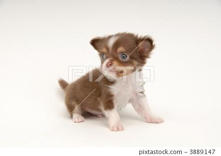 吉娃娃 狗 动物-图片素材 [3889147] - pixta