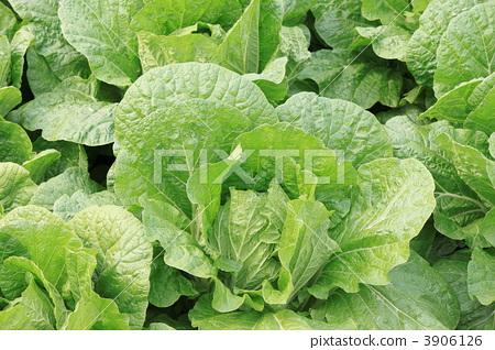 图库照片: 叶菜类 绿叶菜 冬季蔬菜图片