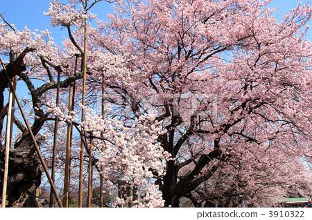 樱花 神代樱花 江户彼岸樱树