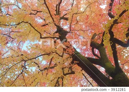 照片素材(图片): 枫香树 台湾胶 枫树
