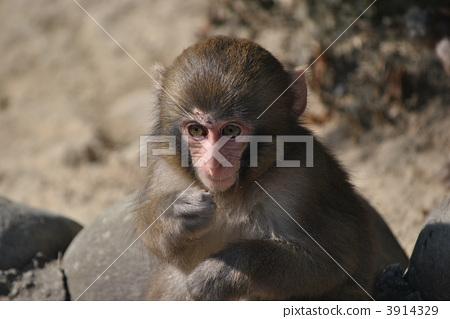 动物 陆生动物 日本猕猴