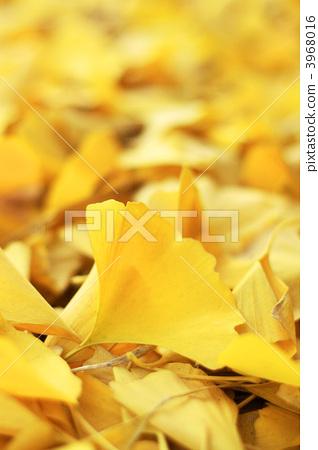 照片素材(图片): 银杏 银杏树 落叶