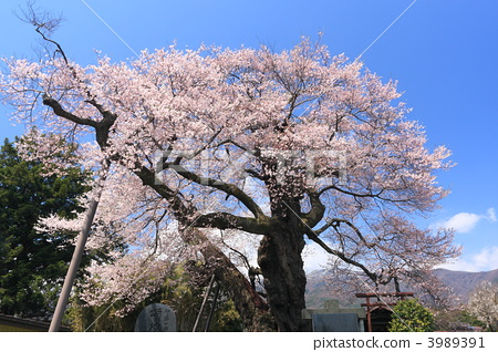 江户彼岸樱树 樱花盛开