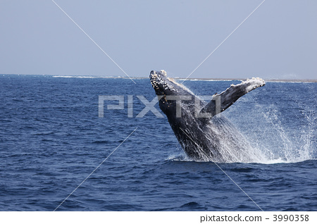 座头鲸 鲸鱼 海