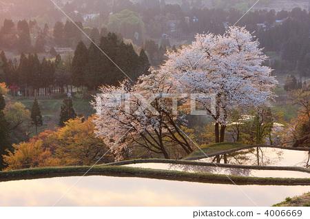 樱桃树 樱花 梯田