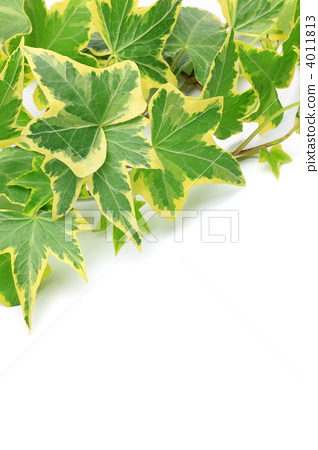 常春藤 观叶植物 室内盆栽