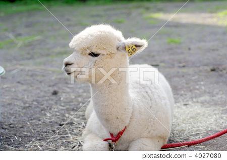 动物_鸟儿 牲畜 羊驼 照片 羊驼 骆驼科 体毛 首页 照片 动物_鸟儿