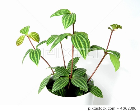 图库照片: 室内盆栽 观叶植物 椒草