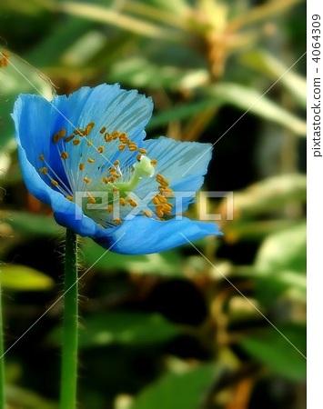 绿绒蒿 罂粟花 蓝花