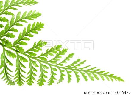 照片素材(图片): 羊齿草 蕨类植物(植物分支) 影棚拍摄