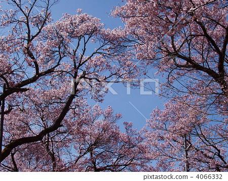 樱花 樱桃树 高远彼岸樱