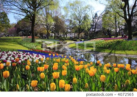 图库照片: 开花在春天的开花的郁金香