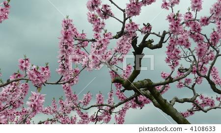 图库照片: 桃树 桃子 春天