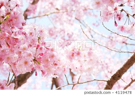 首页 照片 植物_花 樱花 樱花 垂枝樱花 重瓣 花朵  *pixta限定素材仅