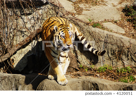 图库照片: 老虎 虎 野生动物