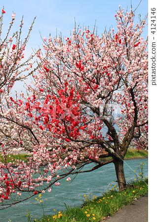 正在开花的桃树 桃花 粉色