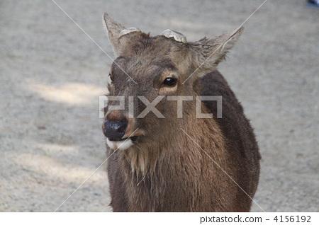 鹿 奈良公园 陆生动物