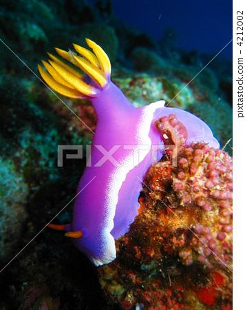 照片素材(图片): 海洋动物 海参 海