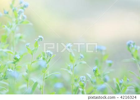 图库照片: 淡蓝色花 小花 春天
