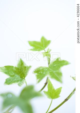 照片: 常春藤 银杏叶 树叶