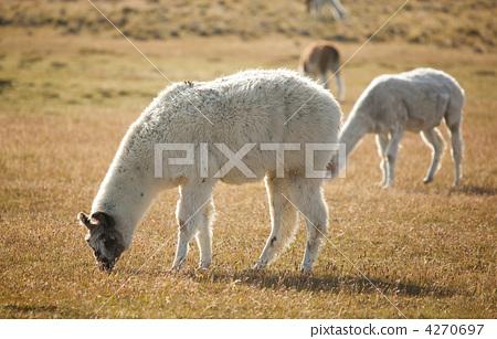 反刍动物 stock photos