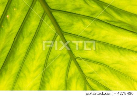 树叶纹理 银杏叶 树叶