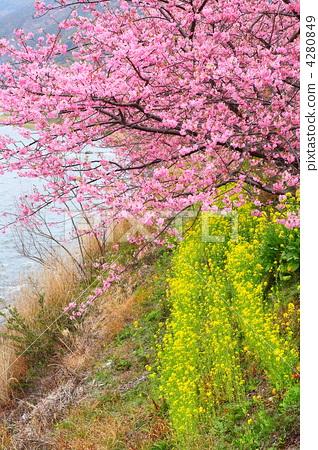 河津樱 川角樱桃花 樱桃树