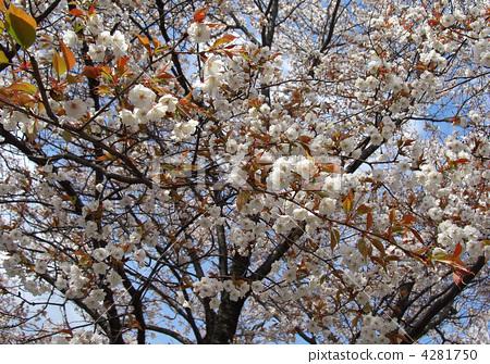 野樱桃树 野樱桃花 山樱桃