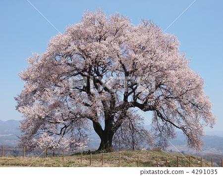江户彼岸樱树 樱桃树