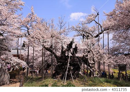 照片: 樱桃树 神代樱花 樱花